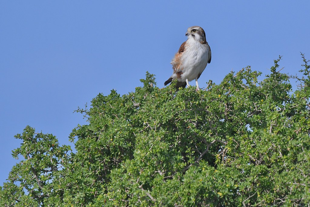 Brown Falcon ( taking a rest after a meal )