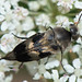 Gebänderter Stachelkäfer