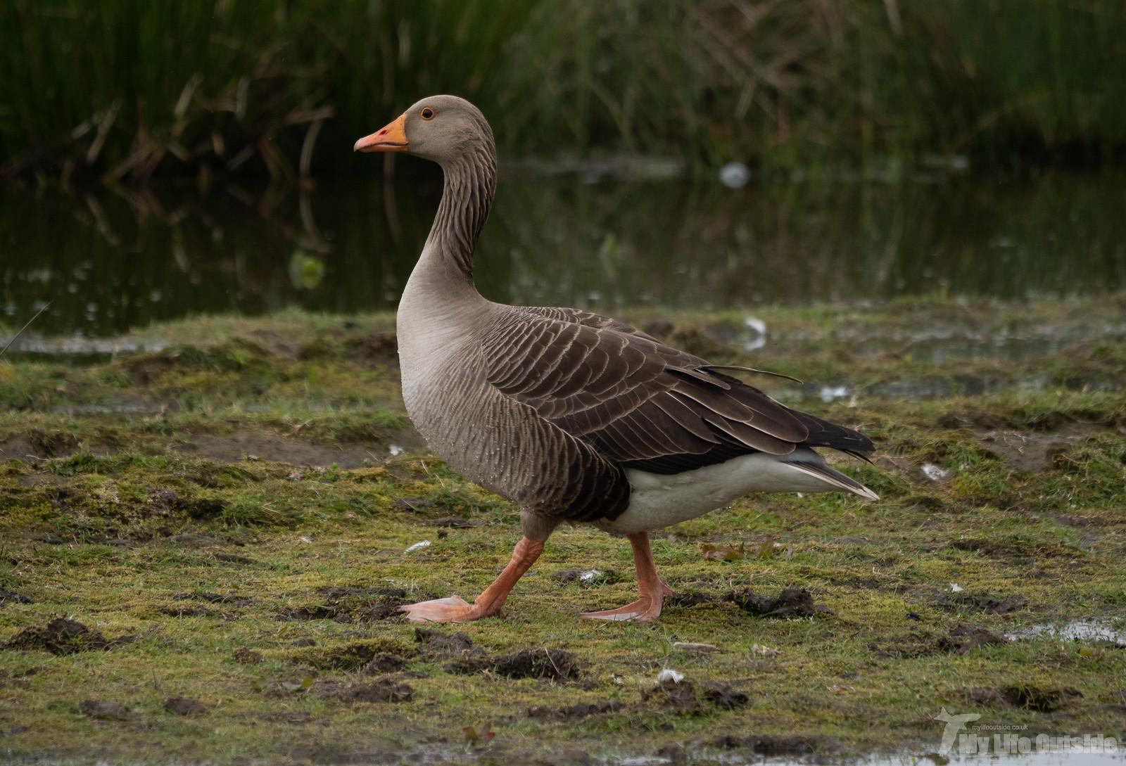 P5141986 - Greylag Goose, St Aidan's