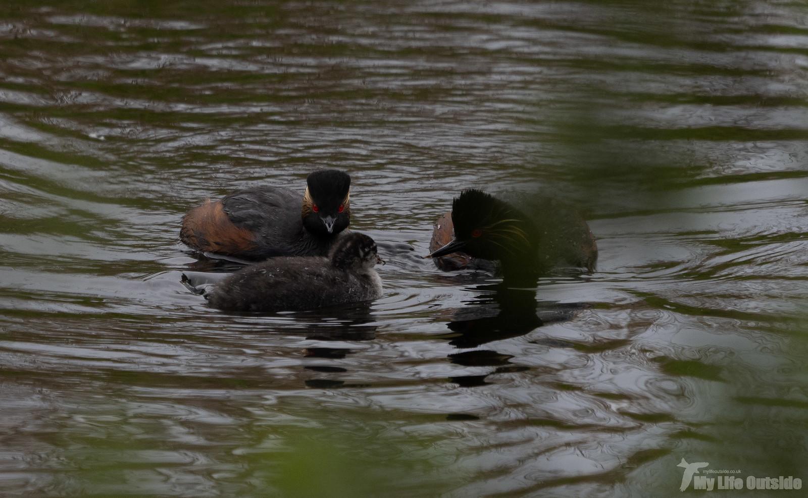 P5142106 - Black-necked Grebe, St Aidan's