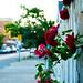sidewalk roses