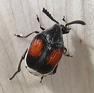 Large-horned Bruchid, Megacerus discoidus, Flushing Meadows Corona Park, Queens, NY