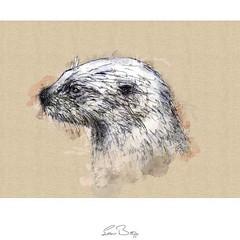 European otterEuropean otter sketch from artist Sean Briggs no 2713 #otter #art #drawing #sketch...