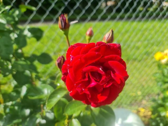 Sommer im Hausgarten - Faszination Rosen