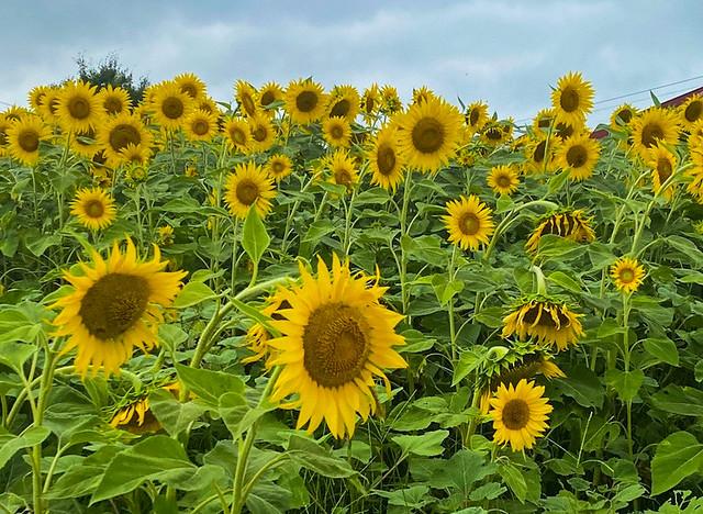 Sunflower State of Mind