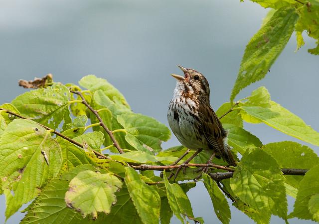 0P7A0959   Song Sparrow, Canada