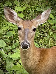 Pollen-nosed Whitetail Doe
