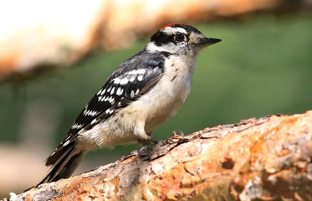 downy woodpecker male juvenile at Lake Meyer Park IA 653A9246