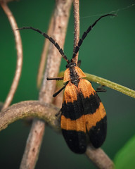 Reticulated Net-winged Beetle (Calopteron reticulatum)
