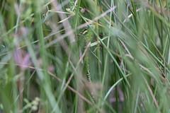 Aeshna viridis, Green Hawker, Gru00f8n mosaikguldsmed, female