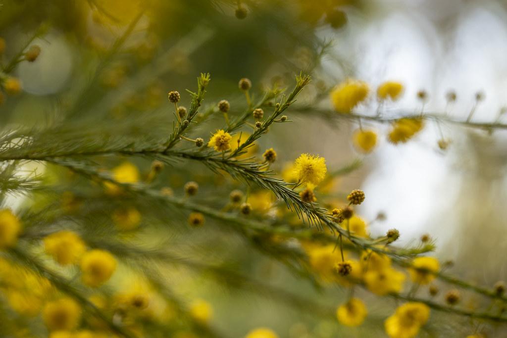 Acacia handonis