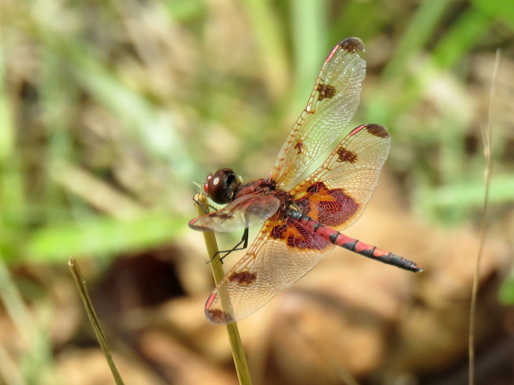 Calico Pennant dragonfly, 2 August 2021
