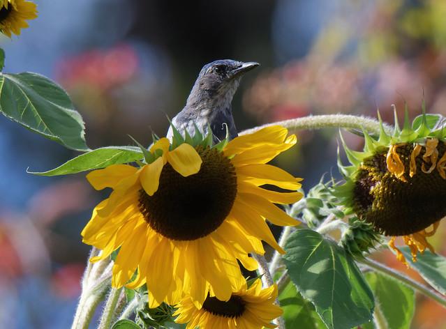 California scrub jay on sunflower