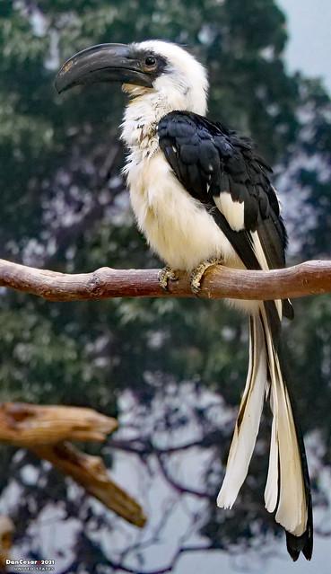 Von der Decken's Hornbill, National Zoo, Washington, DC, USA