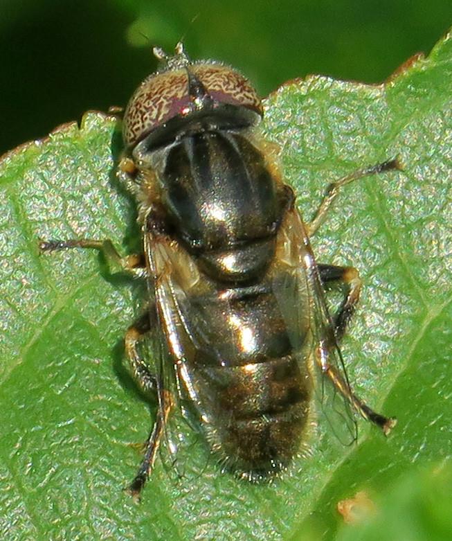 Syrphid Fly, Eristalinus (Lathyropthalmus) aeneus, Flushing Meadows Corona Park, Queens, NY