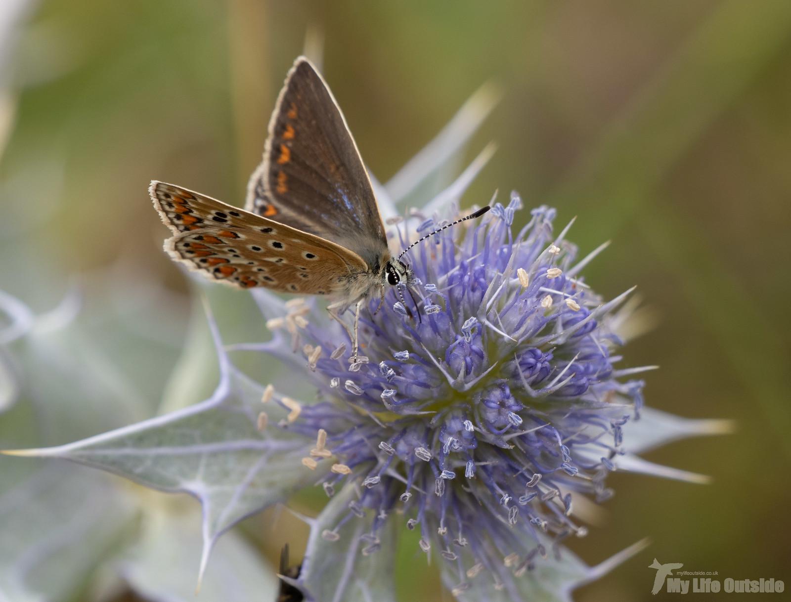 P7314094 - Common Blue, Hill End