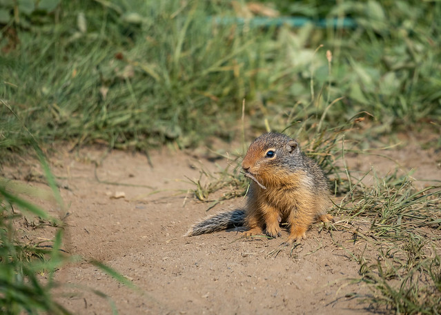 A young Columbian Ground Squirrel