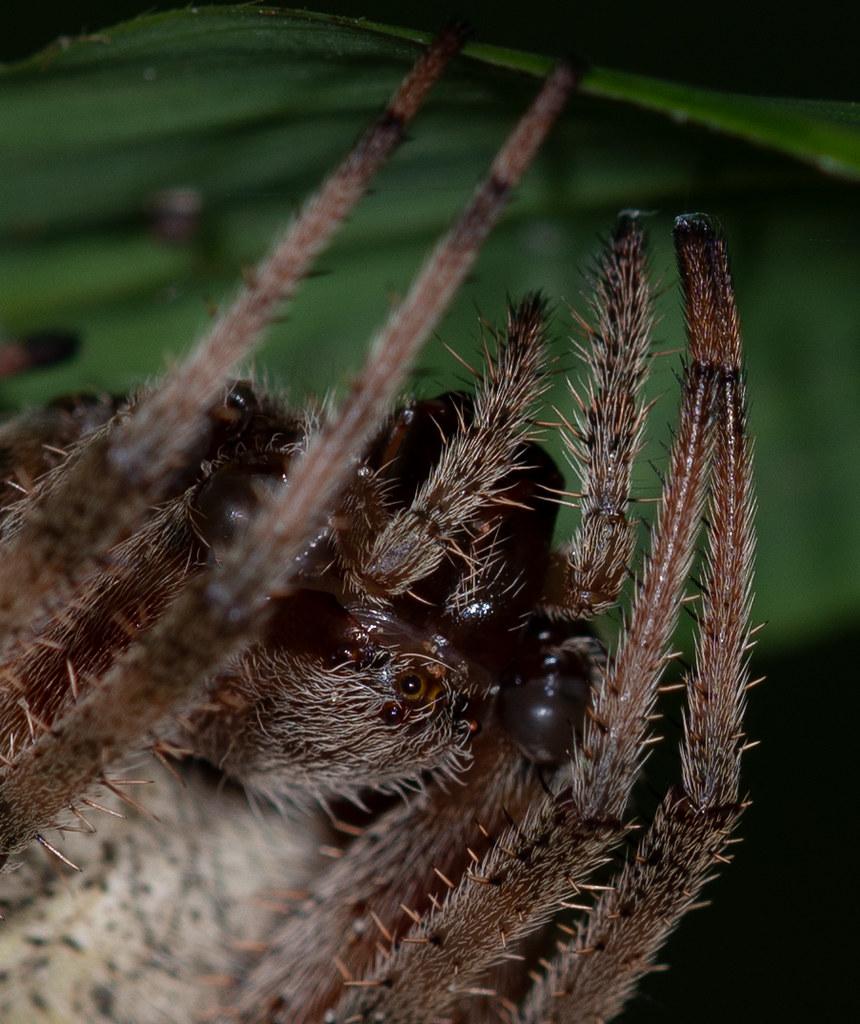 Spotted Orbeweaver (Neoscona crucifera)