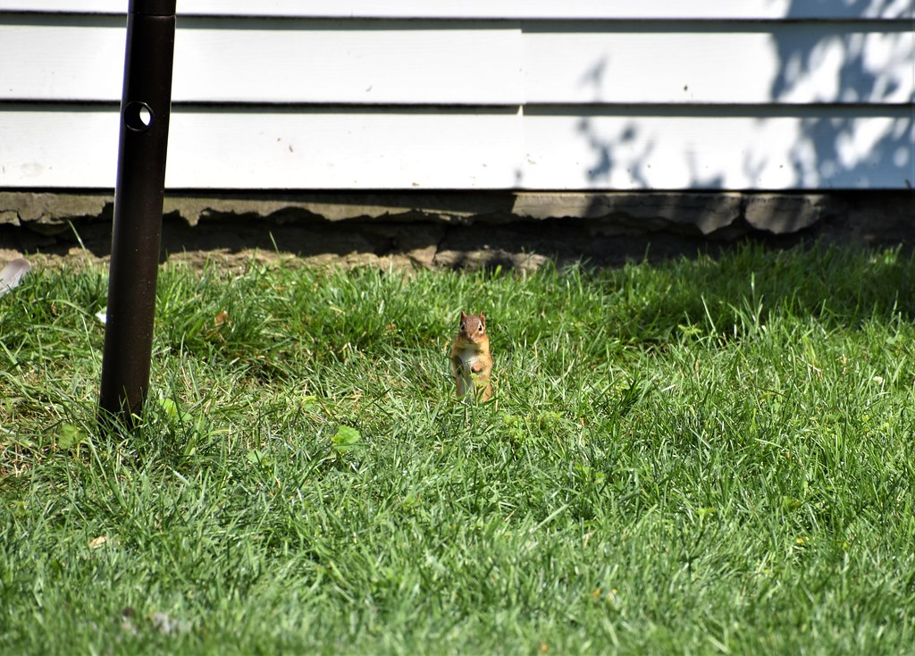Curious Chipmunk, Port Chester, New York (USA)