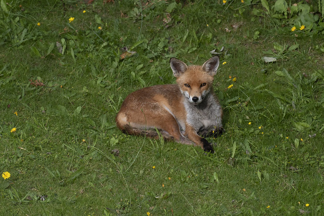 A very proud young fox