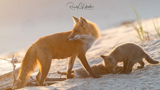 Red Fox | Vulpes Vulpes | 2021 - 51
