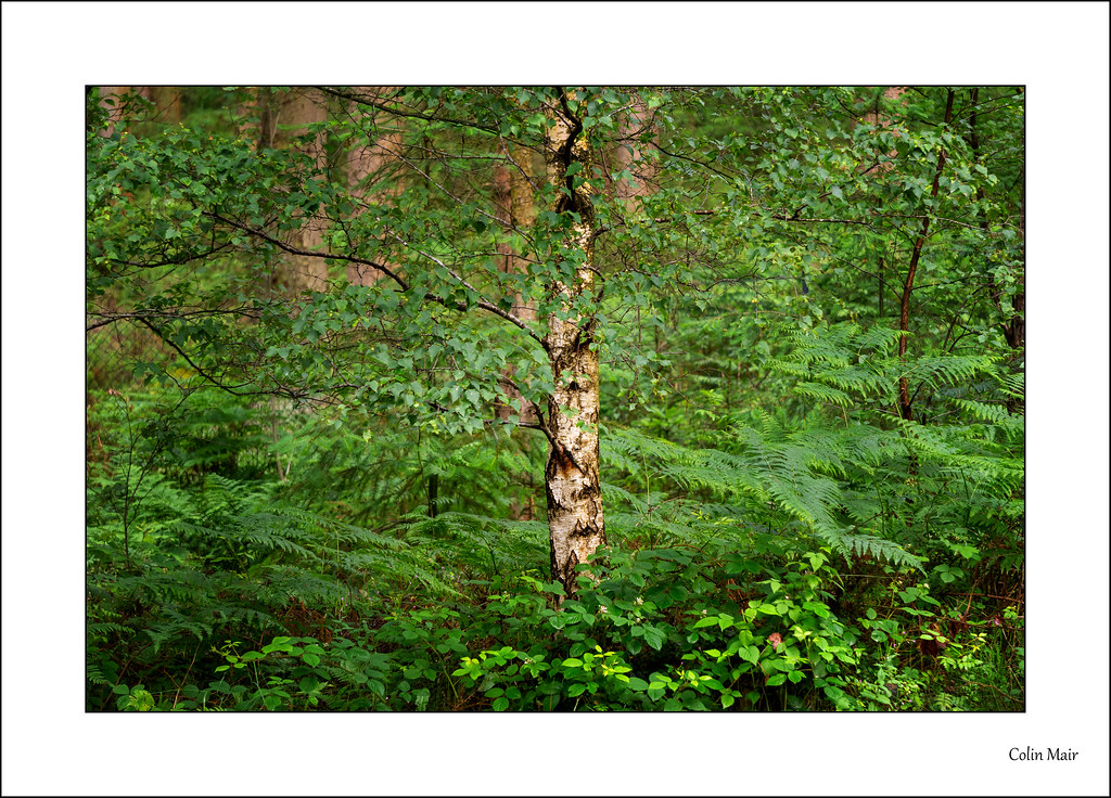 Tree in a forest - 2021-07-04th