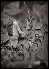 Sunflower.2.jpg
