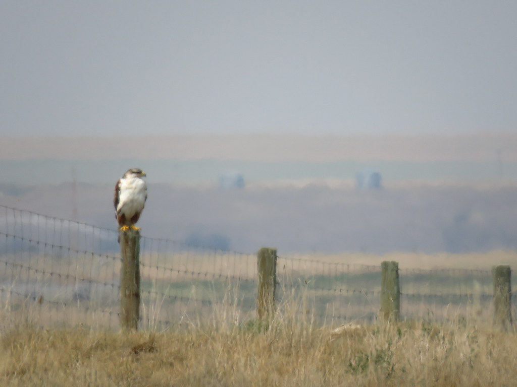 05 Ferruginous Hawk, just for the record
