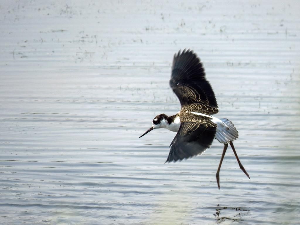 02 Black-necked Stilt in flight