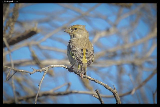 Common Greenfinch: Hello