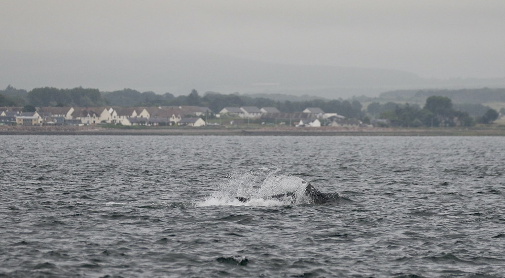 Bottlenose Dolphins (tursiops truncatus) splashing as they fish in front of the village of Ardesier