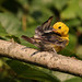 Fledgling Prothonotary Warbler