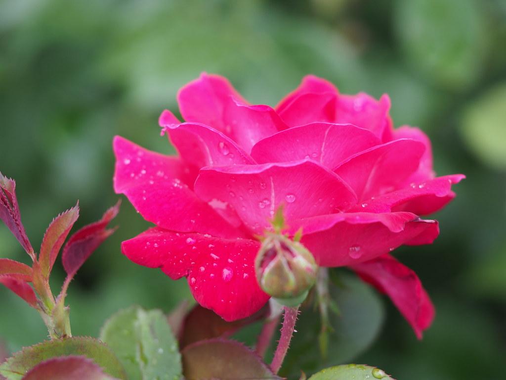 Elizabeth Park Rose