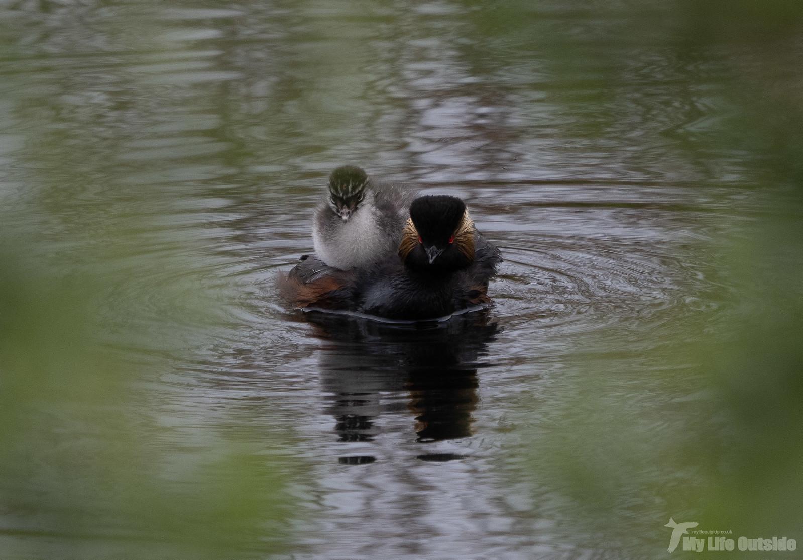 P5142101 - Black-necked Grebe, St Aidan's