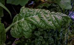 Chard Leaf