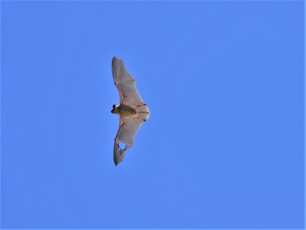 Canyon Bat during the day-Joshua Tree NP (1)