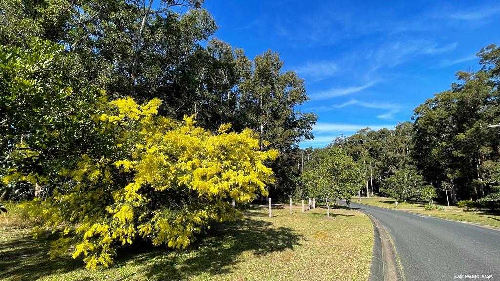 Acacia fimbriata - Fringed Wattle, Brisbane Wattle, Diamond Beach, Mid North Coast, NSW