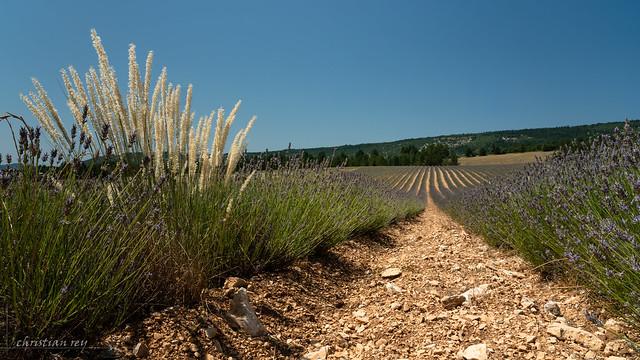 Dans les lavandes de Provence