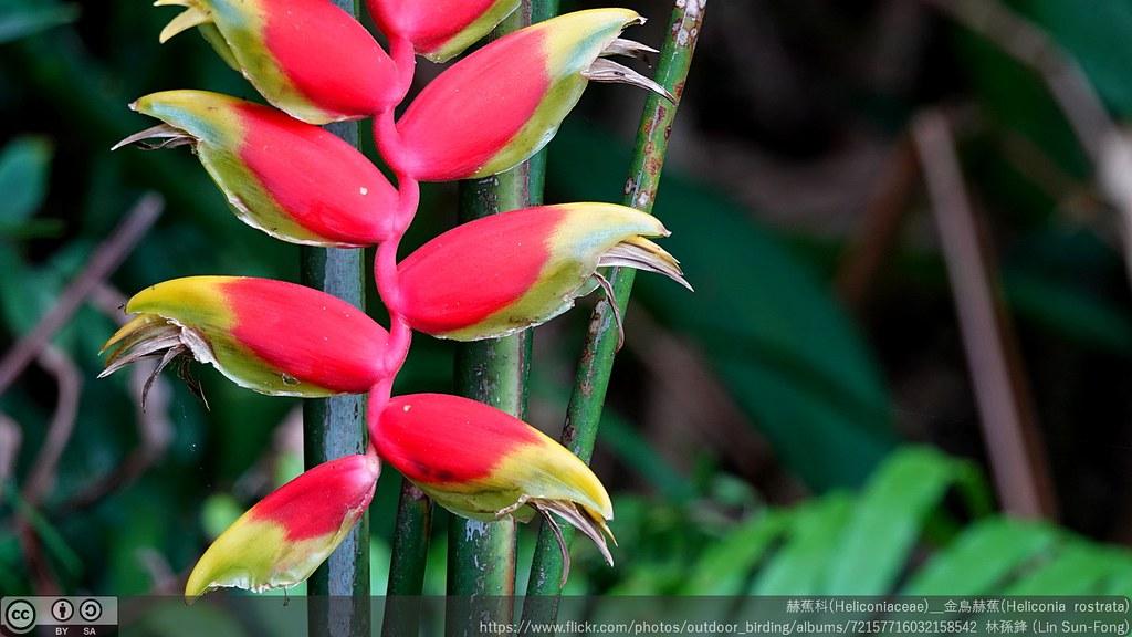 赫蕉科(Heliconiaceae)_金鳥赫蕉(Heliconia  rostrata)