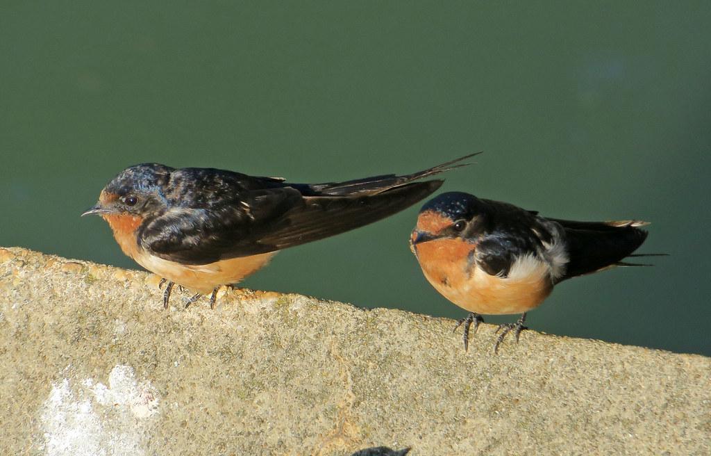 Barn Swallows, Flushing Meadows Corona Park, Queens, NY