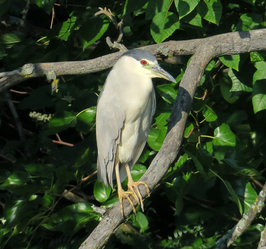 Black-crowned Night-Heron, Flushing Meadows Corona Park, Queens, NY