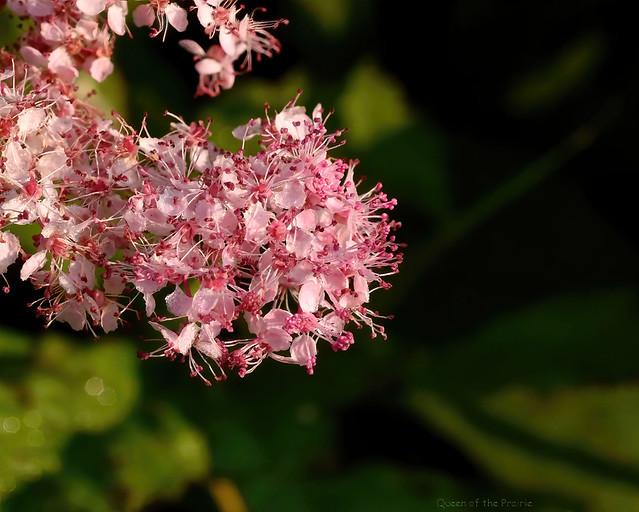 Queen of the Prairie - Filipendula rubra - Rosaceae: Rose family