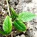 Sida acuta ( stubborn grass )