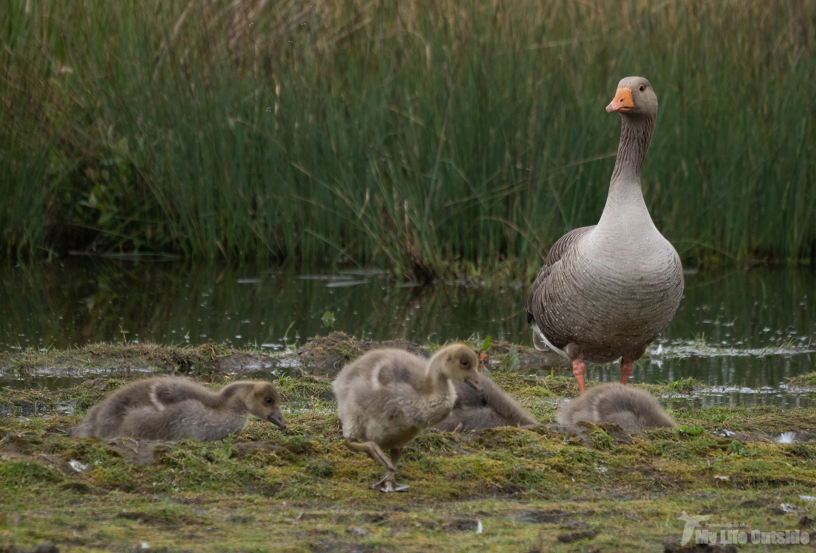 P5141985 - Greylag Goose, St Aidan's