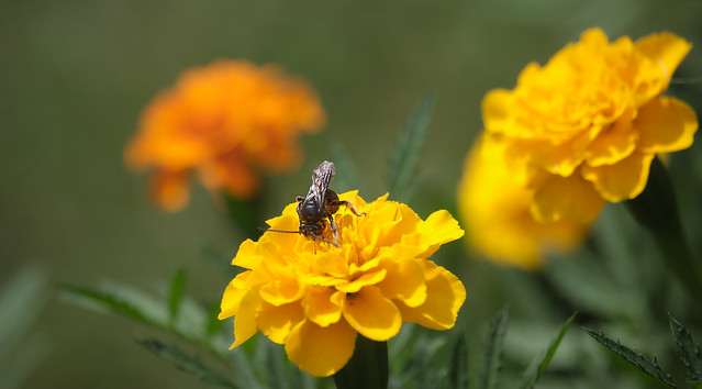 Marigolds And A Bee
