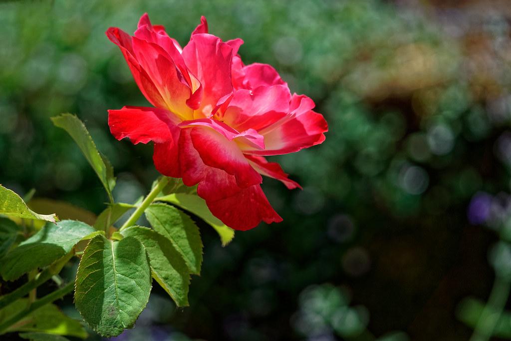 Rose City Rose