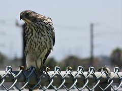Cooper's Hawk on a Fence