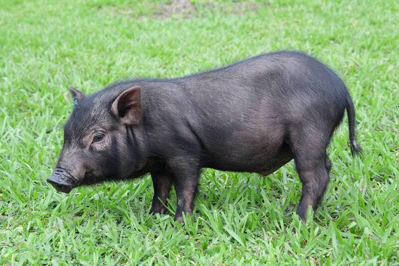 20210803蘭嶼豬保種回流有成記者會。草原上的蘭嶼豬。照片提供:畜試所