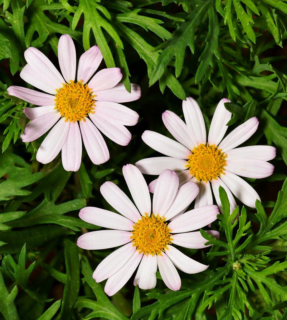 Early springtime Argyranthemum