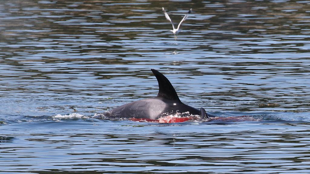 T37A3 killing a harbor seal